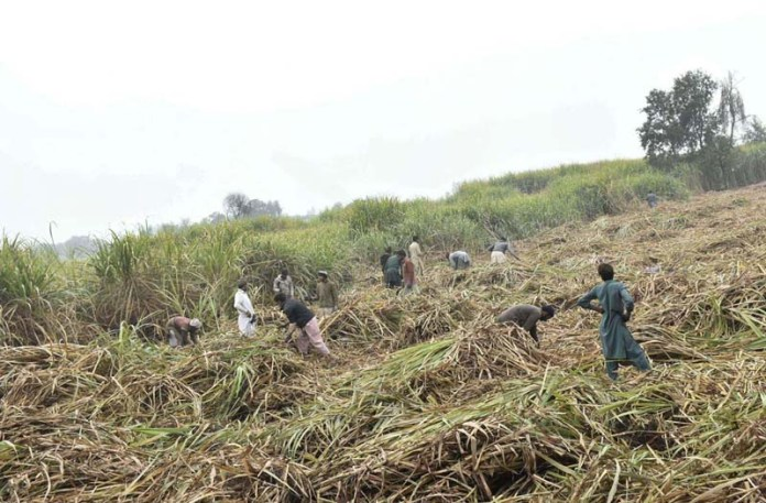 Farmers busy in harvesting sugarcane crop in their field