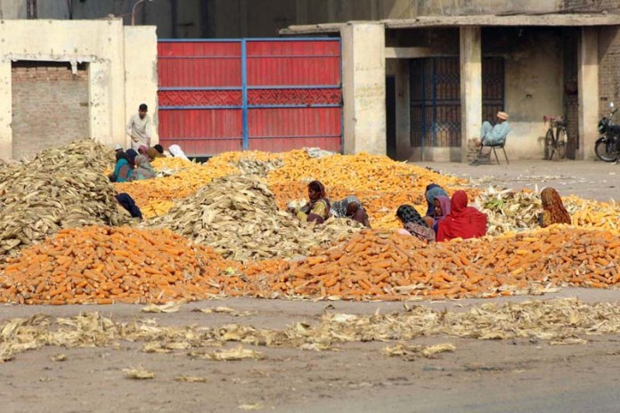 Women labourers busy in spreading corn for drying