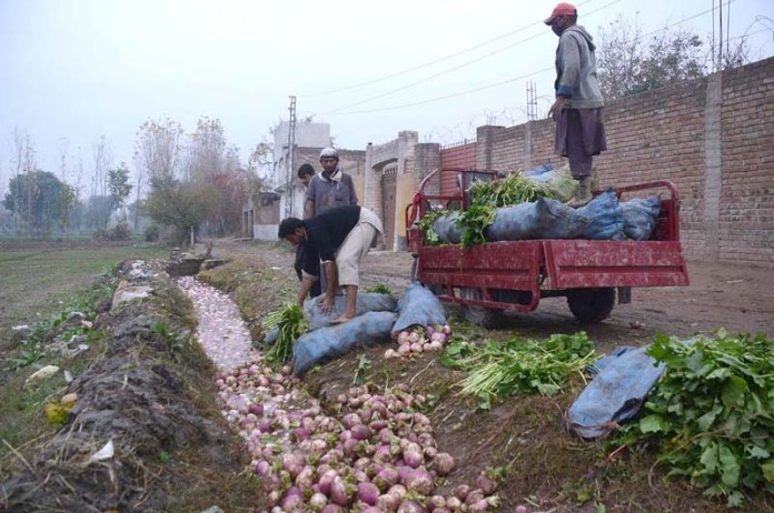 Farmers busy in washing turnips before supplying to local vegetable market