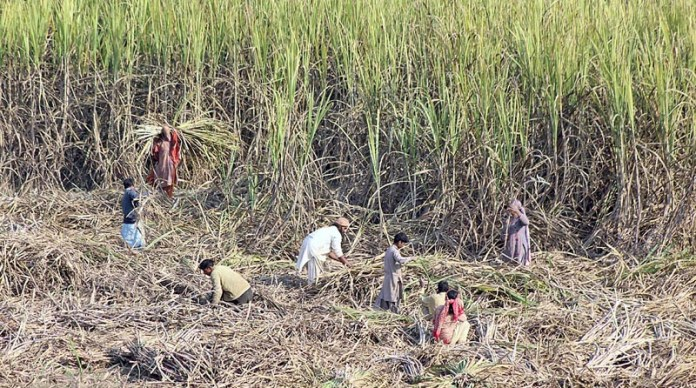 Farmer family harvesting sugarcane crop in their field