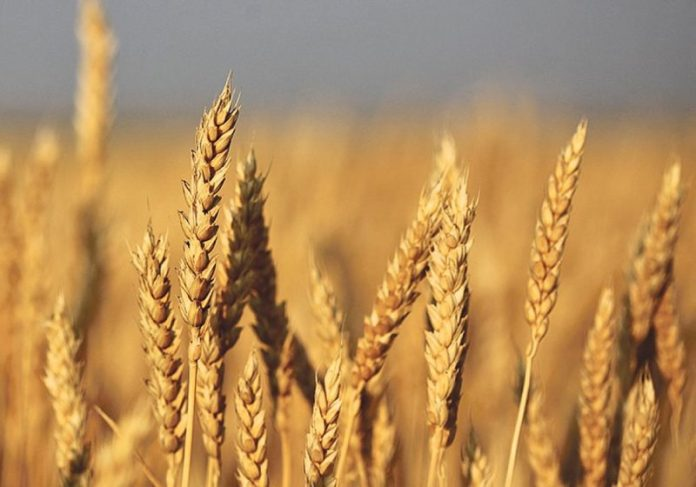 Wheat cultivation targets in Punjab surpassed, as sowing achieved over 101.90 % of set targets