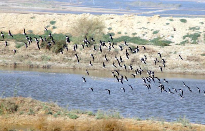 A flock of birds flying over the pond at Kohsar