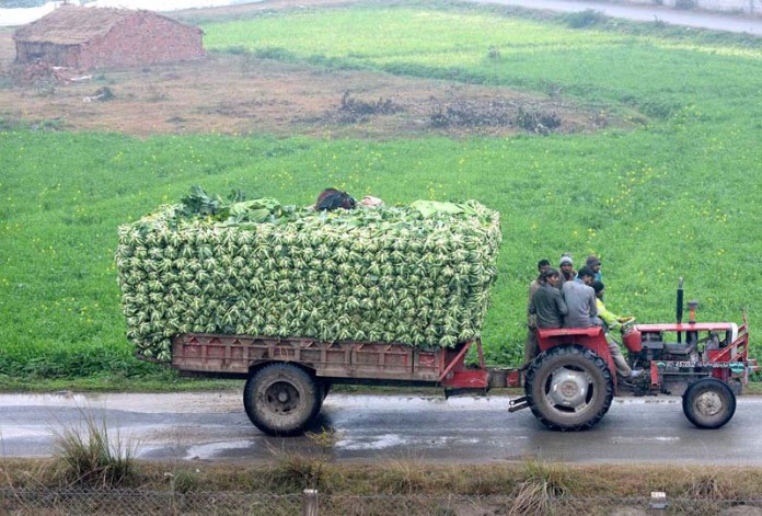Farmers on the way with a tractor trolley loaded with Cauliflowers supply to the vegetable market