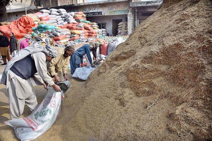 Labourers busy in filling rice crop in bags