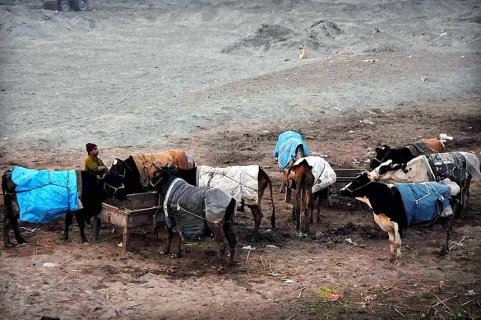 A farmer cover his cows with warm clothes to protect animals from cold weather at the Bank of River Ravi in Provincial Capital
