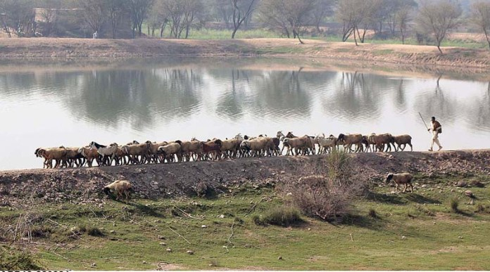 A shepherd guiding herd of goat towards grazing field