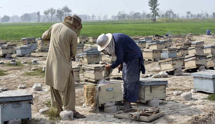 Farmers collecting honey from honey bee boxes