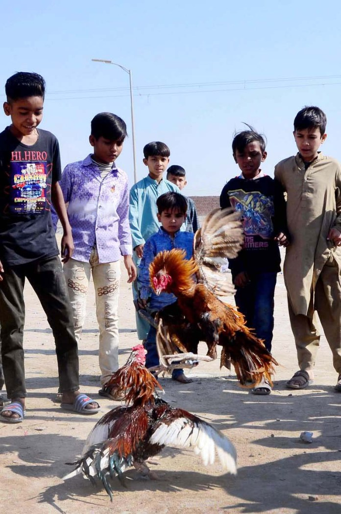 Children watching roosters fight at Latifabad