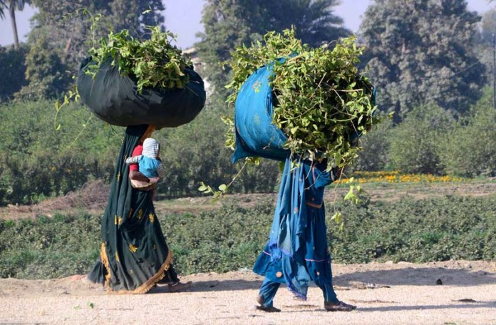Gypsy women on the way back carrying bundle of tree branches of tree for domestic use.