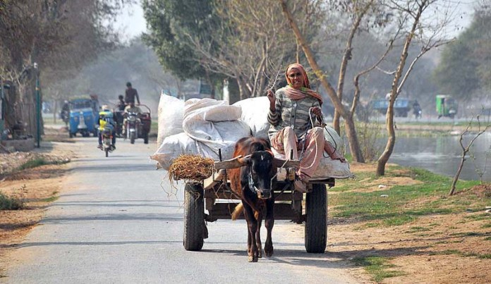 An elderly female farmer on her way back while driving a bull driven cart