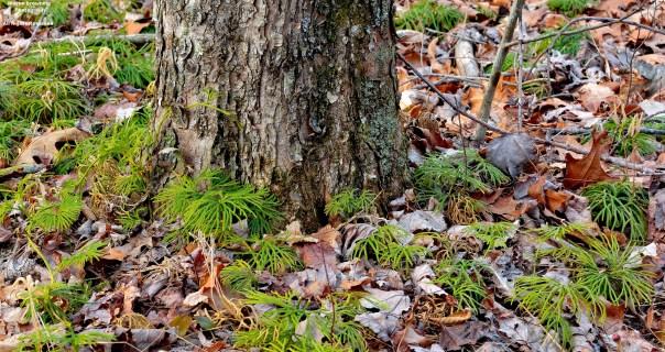 Running-cedar ( Diphasiastrum spp. )