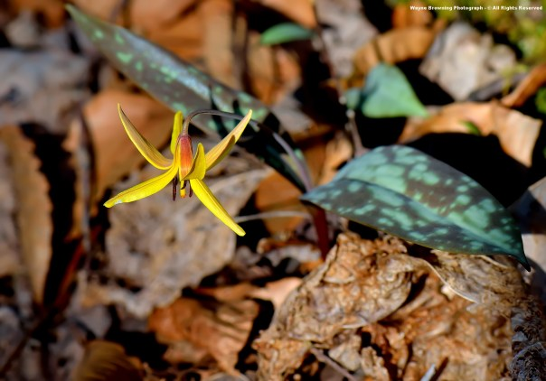 Yellow Trout Lily ( Erythronium spp. )