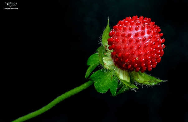 Appalachian Barren Strawberry ( Geum fragarioides )