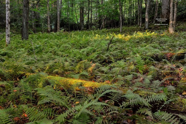 Fern Glade In Upper Valley of Big Cherry Basin