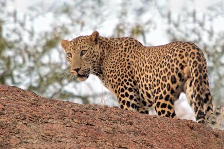 Bera Leopard Safai Booking