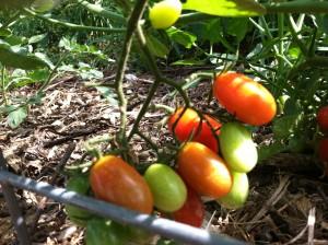 Baby Cherry Tomatoes