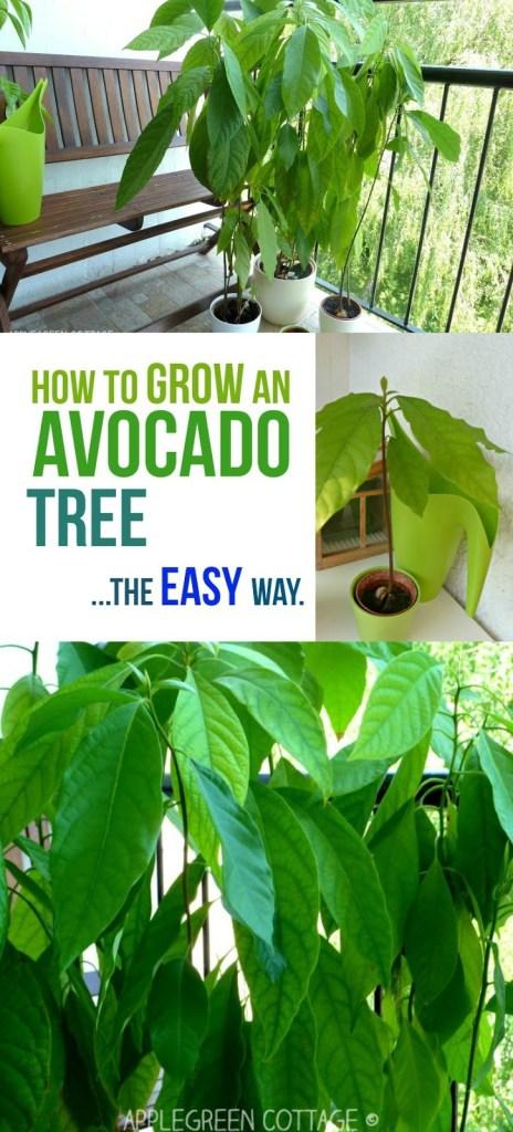 How to Grow an Avocado Tree – The Easy Way