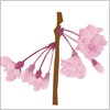 枝垂桜のepsパスデータ