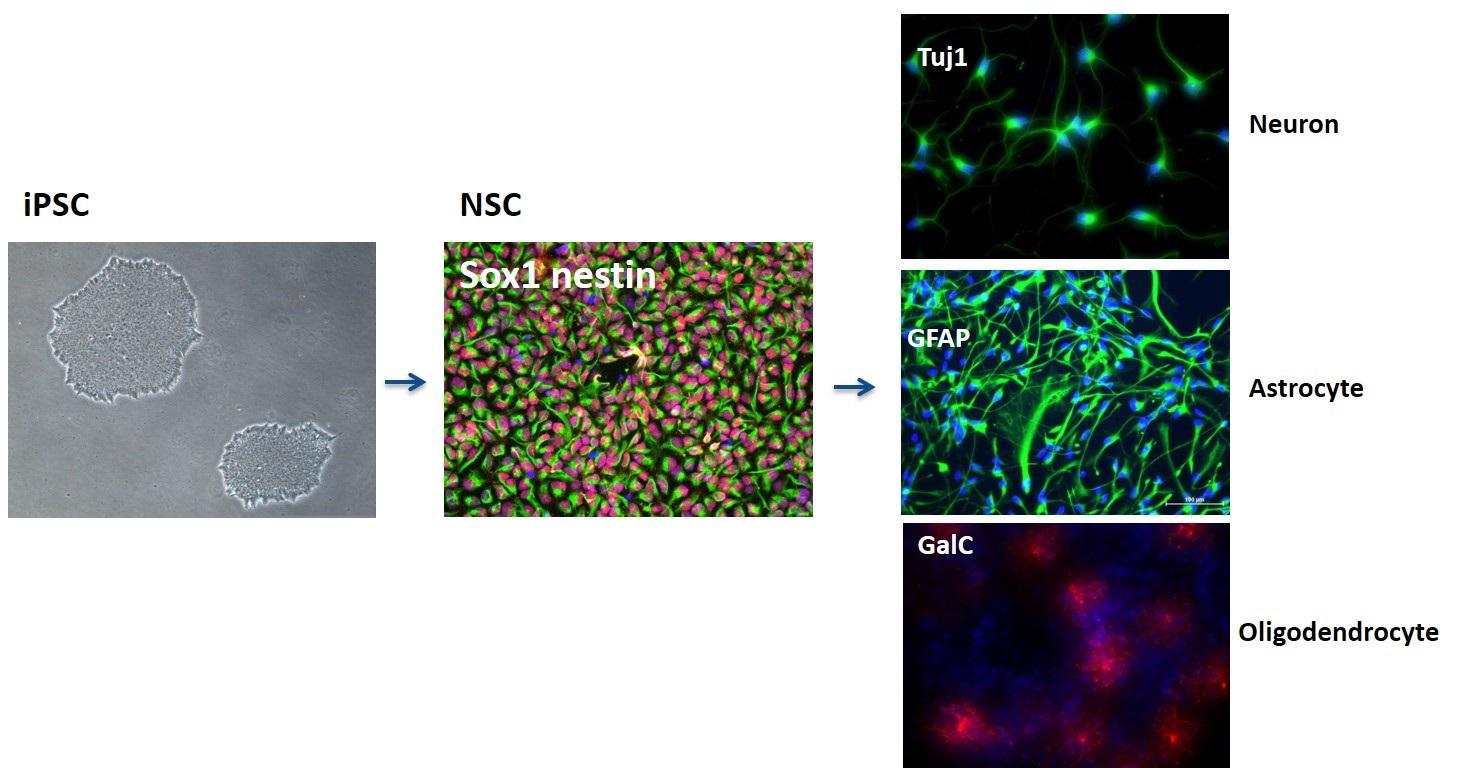 Ipsc Derived Neurons