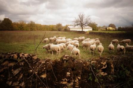 Les moutons du causse sur le GR6