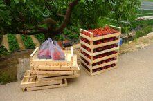 Récolte de fraises. Hum!!