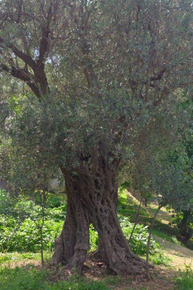 Les vergers d'oliviers de Bar