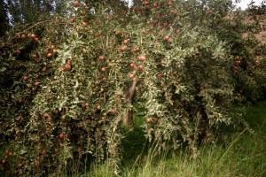 Abondance de pommes