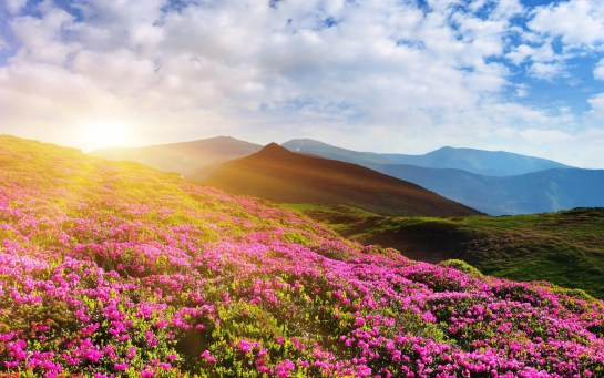 rhododendron_flowers_mountain_summer_4k