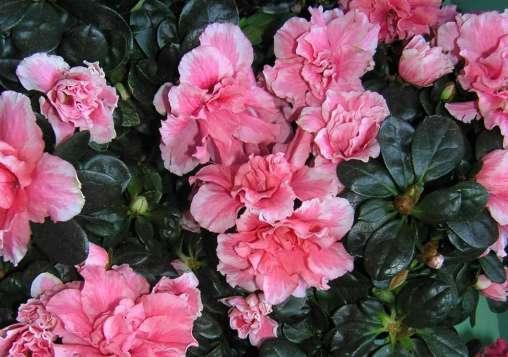 Azalea bonsai 7 strategie per curarla in vaso in ogni stagione