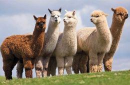 diferencia llama alpaca vicuña guanaco