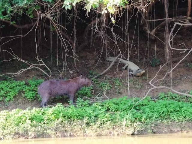 capibara caiman bolivia yacuma