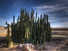 Cactus Cereus par Joel Bramley