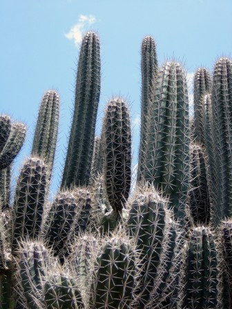 Cactus Cereus par Robin Redeker