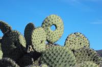 Opuntia Cactus par Rodrigo Daniel