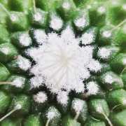 Cactus Mammillaria par Salvatore Fonta
