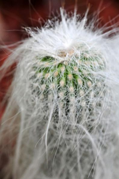 Cactus Mammillaria par Todor Kamenov