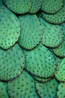 Cactus Opuntia par Tomas Castelazo