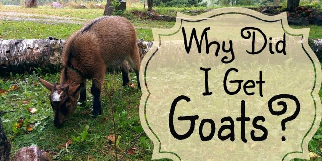 Why I got Goats