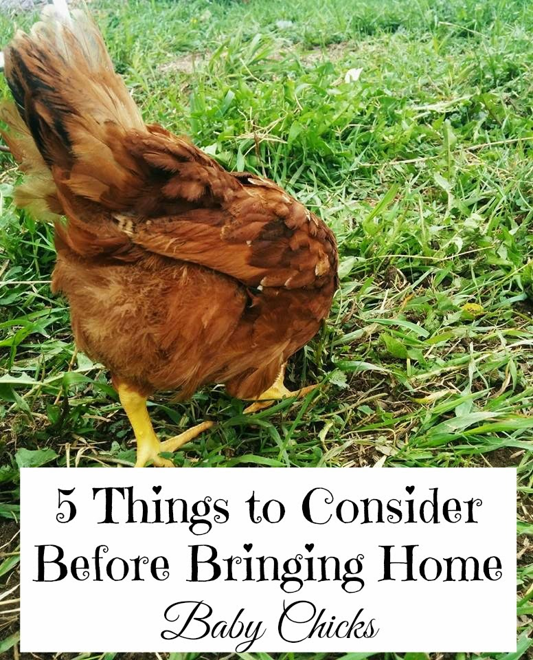 5 Things to Consider Before Bringing Home Baby Chicks