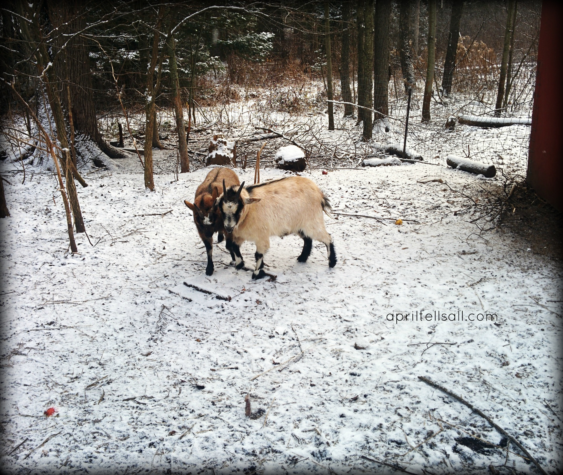 A Simple Guide For First Time Goat Owners | April Tells All