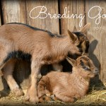 Breeding Goats