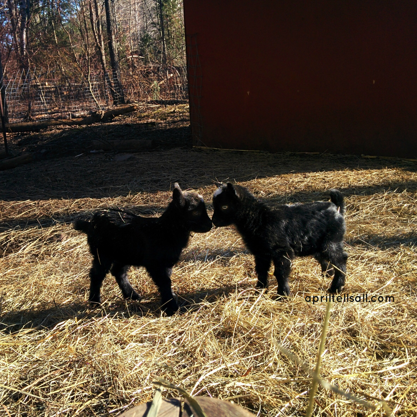 a simple guide for first time goat owners april tells all