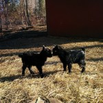Baby Goats, Working, and Cooked