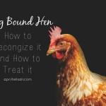 Egg Bound Hen