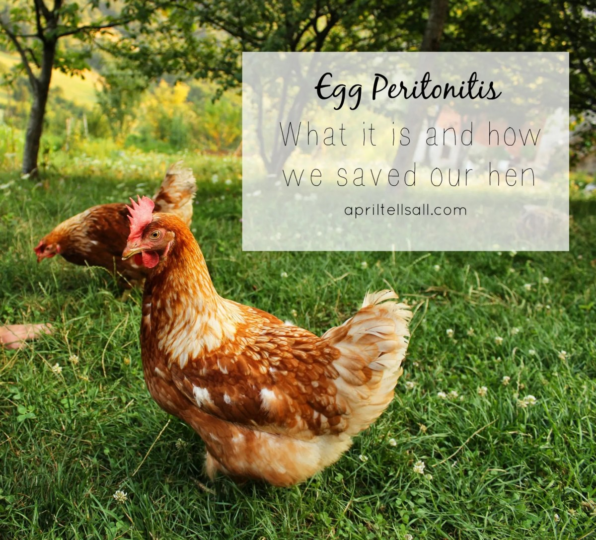 Egg Peritonitis