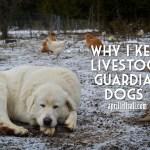 Why I Keep Livestock Guardian Dogs {aka dog mama bragging}