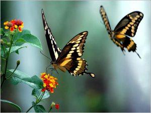 fotos-de-borboletas-voando