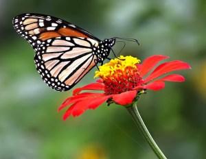borboleta-flor