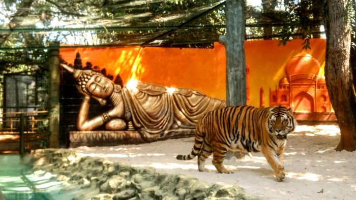 Tigre Siberiano Zoo Piracicaba (3)