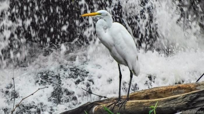 aves pescadoras